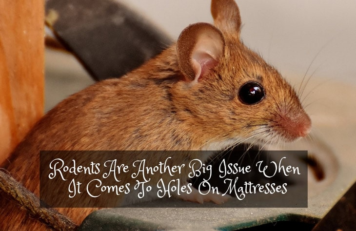 Rodents Are Another Big Issue When It Comes To Holes On Mattresses